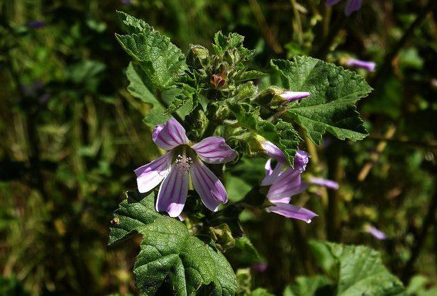 izületi gyulladás gyógynövény krém